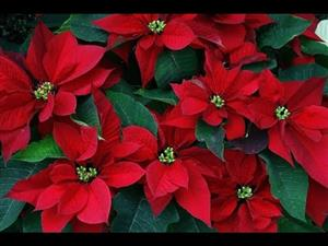 Greenhouse tour for the poinsettia's