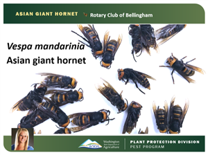 Asian giant hornet Update and WSDA's response plans for 2021