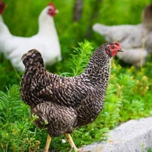 Urban Chicken Farming Mysteries Revealed